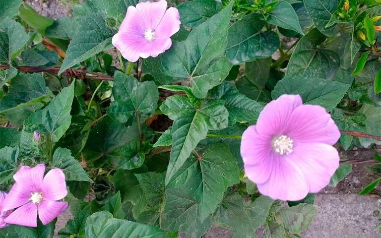 Alache, flor mexicana