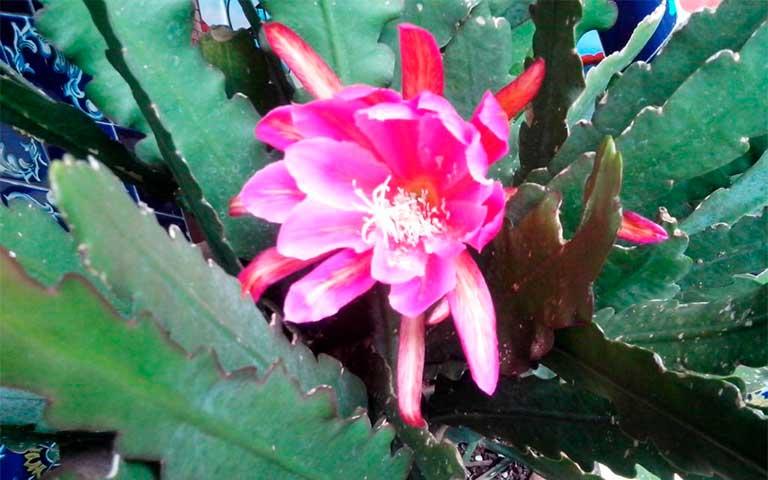 Nopalillo, flor de México