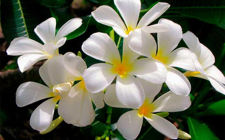Jazmín flor mexicana
