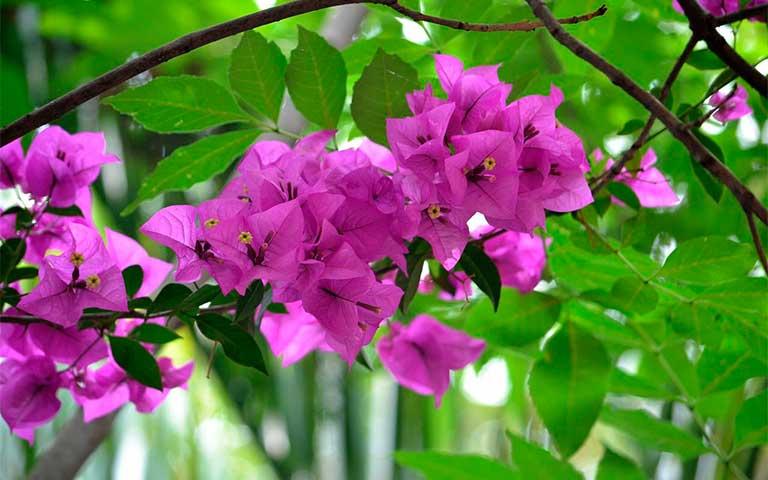 Bugambilia, flor mexicana