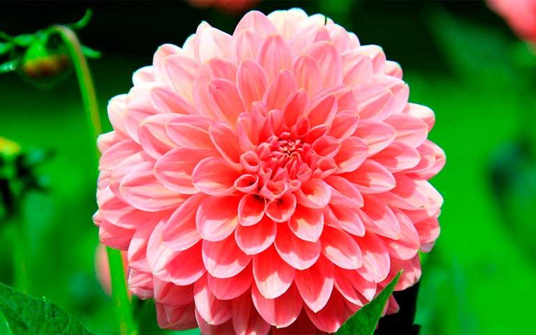 Dalia, flor nacional mexicana