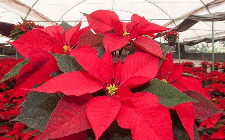 Nochebuena, flores mexicanas