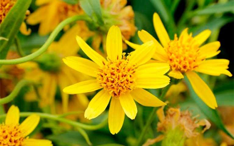 Árnica, flores mexicanas